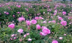 Iran Takes First Place in the World for Production of Rosa Damascena