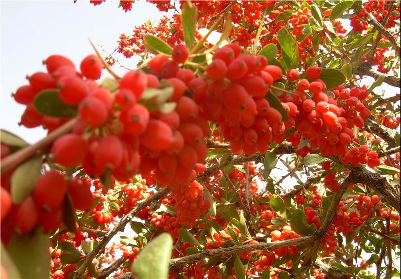 Processed Products From the Iranian Barberry to Enter European Markets