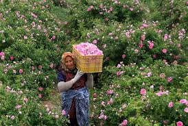 700 Tonnes of Rosa damascena Harvested in Kurdistan Province This Year